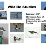 Wildlife Studies - December 2007 - CBC reports - Tens of millions of birds disappearing across North America