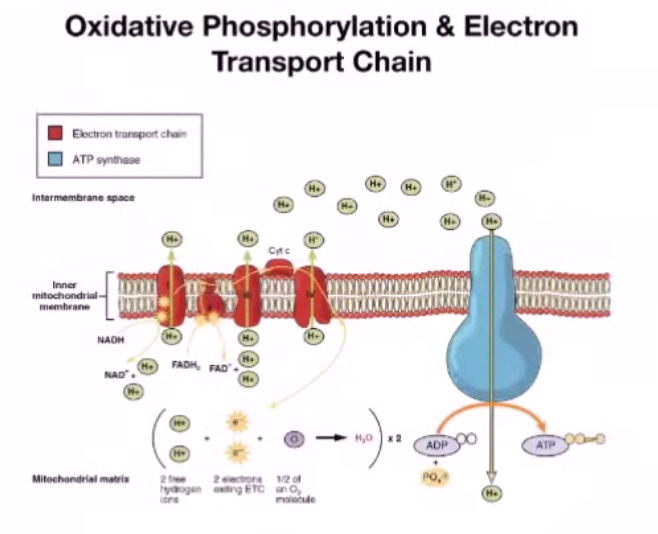 Electromagnetic effects on mitochondria - Oxidative phosphorylation & Electron Transport Chain
